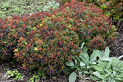 Bonfire Cushion Spurge (Euphorbia polychroma 'Bonfire') at Vandermeer Nursery