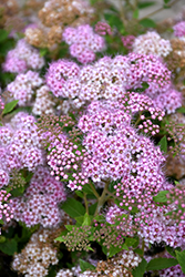 Little Princess Spirea (Spiraea japonica 'Little Princess') at Vandermeer Nursery