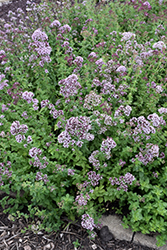 Oregano (Origanum vulgare) at Vandermeer Nursery