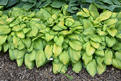 Stained Glass Hosta (Hosta 'Stained Glass') at Vandermeer Nursery