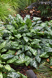Sissinghurst White Lungwort (Pulmonaria 'Sissinghurst White') at Vandermeer Nursery