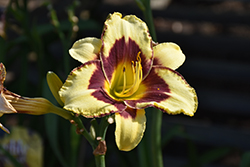 El Desperado Daylily (Hemerocallis 'El Desperado') at Vandermeer Nursery