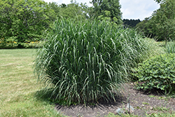 Dewey Blue Switch Grass (Panicum amarum 'Dewey Blue') at Vandermeer Nursery