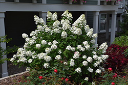 Fire Light® Hydrangea (Hydrangea paniculata 'SMHPFL') at Vandermeer Nursery