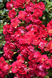 Red Drift® Rose (Rosa 'Meigalpio') at Vandermeer Nursery