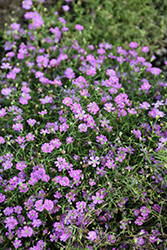 Pink Creeping Baby's Breath (Gypsophila repens 'Rosea') at Vandermeer Nursery