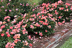 Peach Drift® Rose (Rosa 'Meiggili') at Vandermeer Nursery