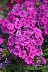Purple Flame Garden Phlox (Phlox paniculata 'Purple Flame') at Vandermeer Nursery