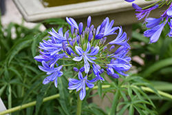 Storm Cloud Agapanthus (Agapanthus 'Storm Cloud') at Vandermeer Nursery